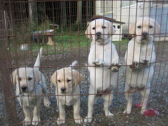 ゲージのラブラドールレトリバーの子犬たち