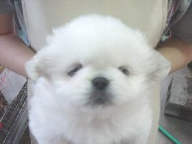 ペキニーズ ブリーダー 子犬 販売なら、いい子犬.jp